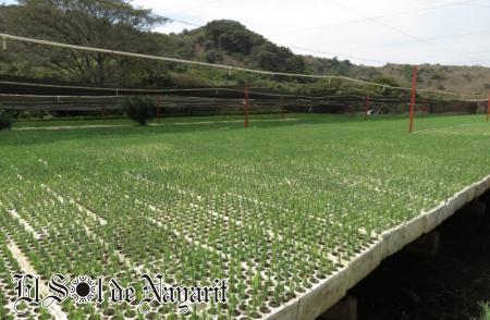 s lo planta de calidad para nayarit conafor el sol de On viveros forestales conafor