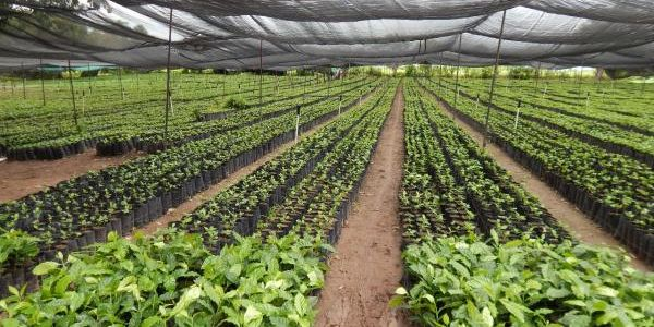 Cafeticultores de nayarit son apoyados gracias al trabajo for Vivero arguello